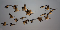 Geese in Flight, Camas Wildlife Refuge, Idaho