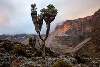 Giant Groundsel at Sunset, Kilimanjaro National Park